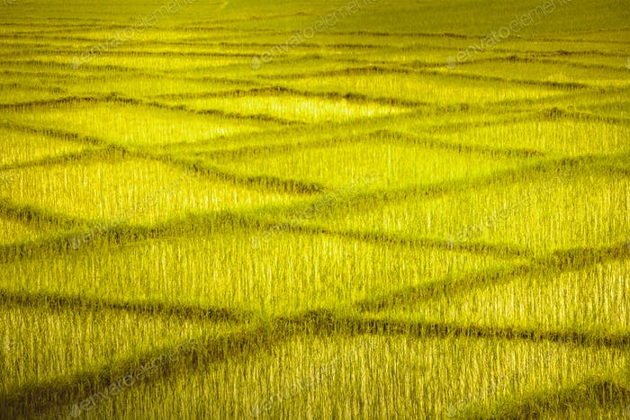 Wheat field with crossing rows. Background