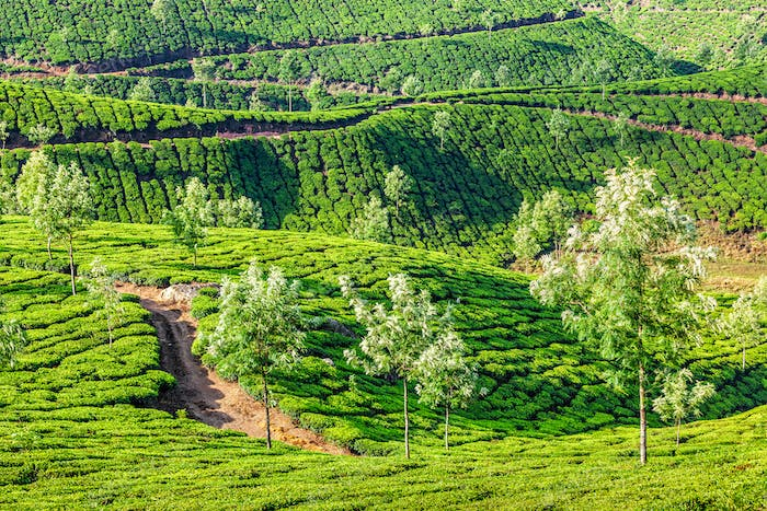 Tea plantations in the morning, India