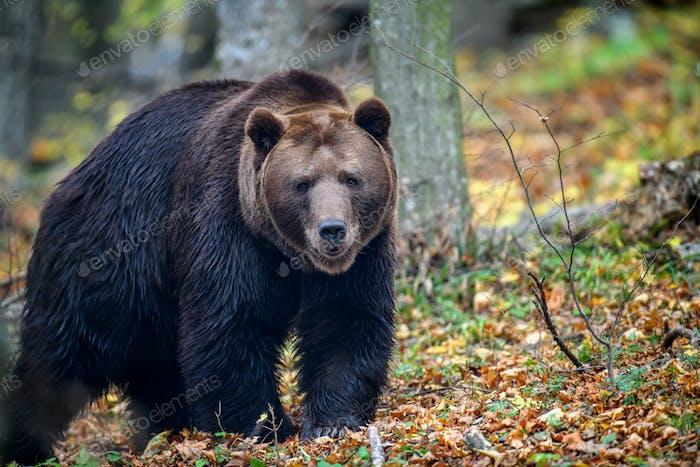 Close-up brown bear in autumn forest. Danger animal in nature habitat. Big mammal