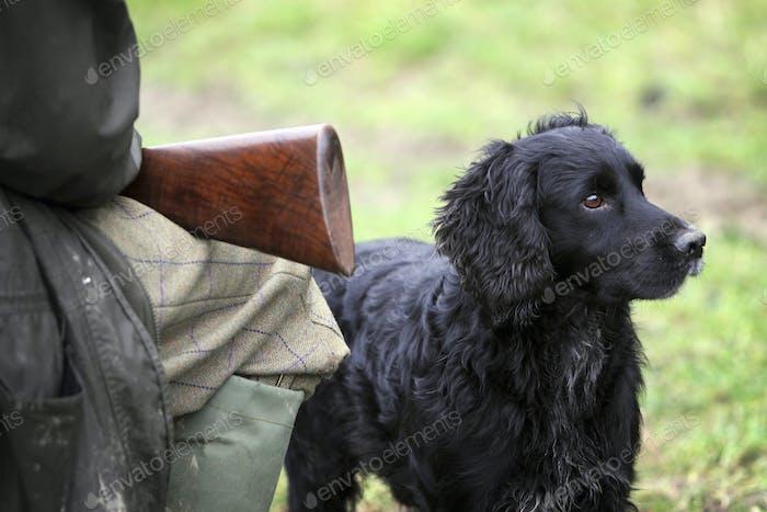 An alert black trained gundog