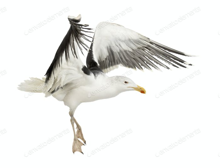 Great Black-backed Gull, Larus marinus, 4 years old, flying against white background