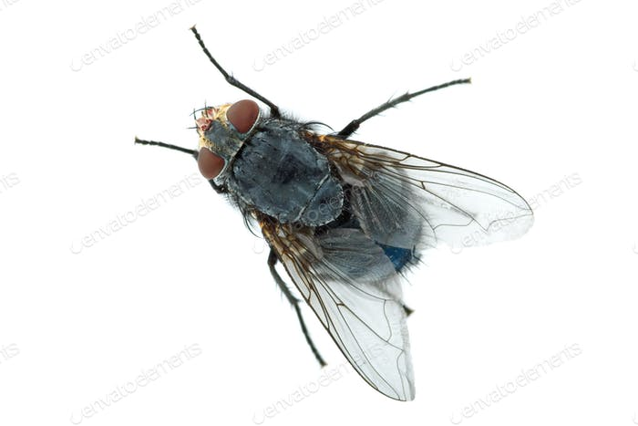 Big meat fly