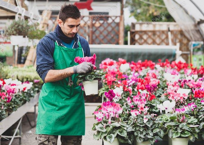 Junger Gärtner, der Cyclamen Blumen im Gewächshaus pflanzt.