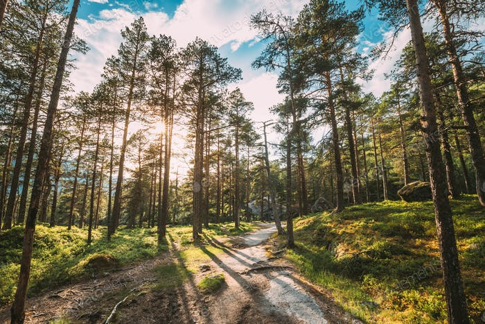 Kinsarvik, Hordaland, Norway. Sun Sunshine Summer Through Pine Tree Branches. Forest In