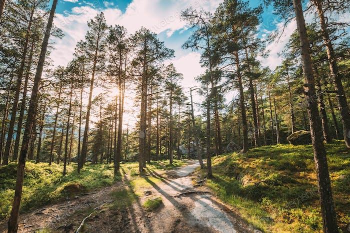 Kinsarvik, Hordaland, Norwegen. Sonne Sonne Sommer durch Pinienzweige. Wald in