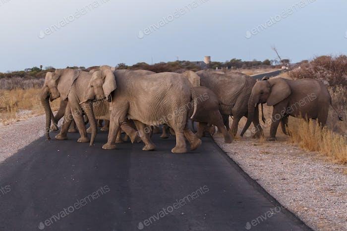 Elefant - Etosha Safari Park in Namibia