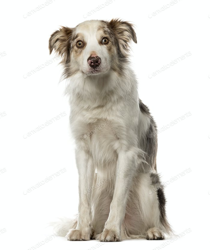 Border Collie sitting, 3,5 years old , isolated on white