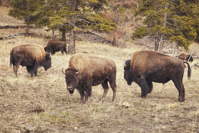 Retro toned bison grazing in Yellowstone National Park.