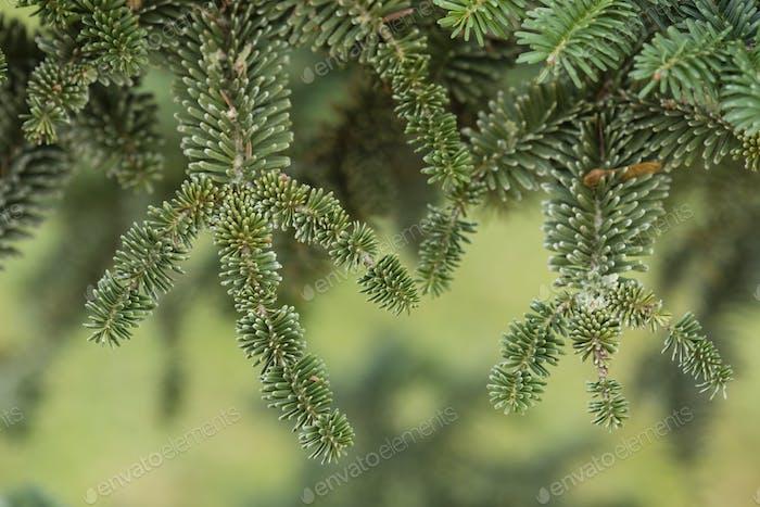 Norway spruce tree detail