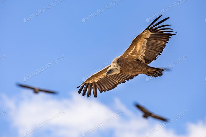 Griffon vultures flying blue sky