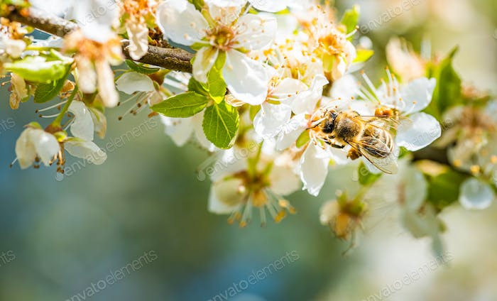 Closeup of a Honey Bee gathering nectar and spreading pollen on white flowers on cherry tree