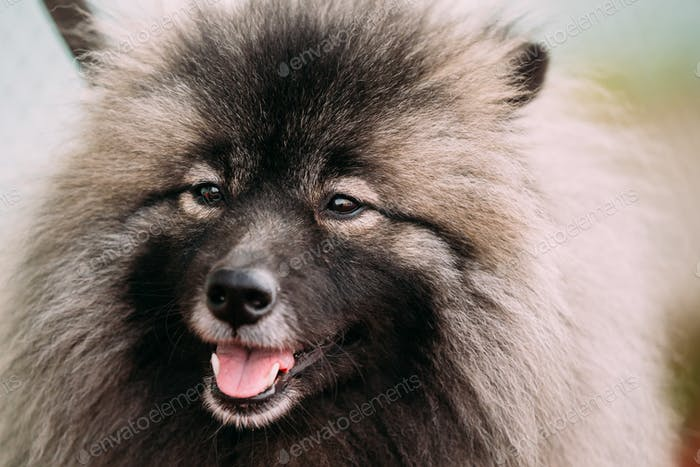 Close Up Of Funny Happy Young Keeshond, Keeshonden Dog