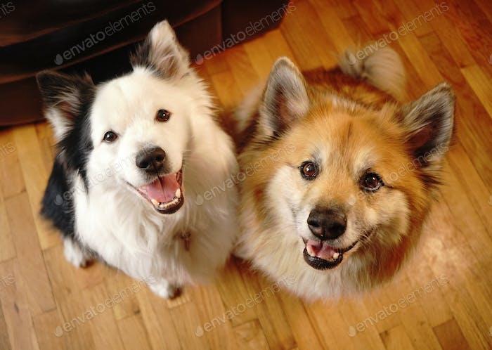 Zwei Hunde Gefährten Blick auf die Kamera