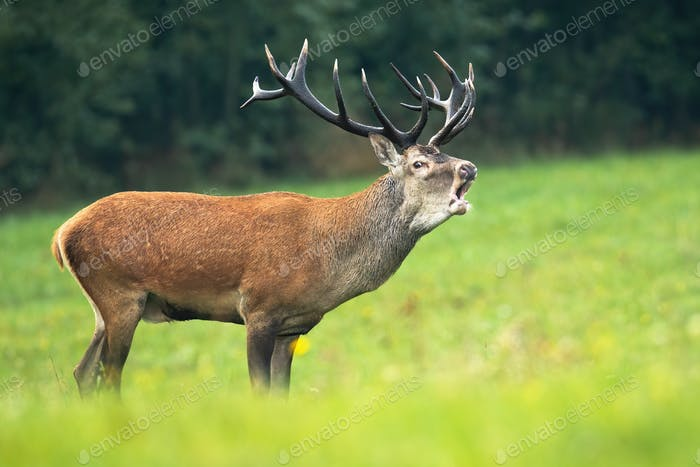 Red deer stag with roaring on a green meadow in rutting season
