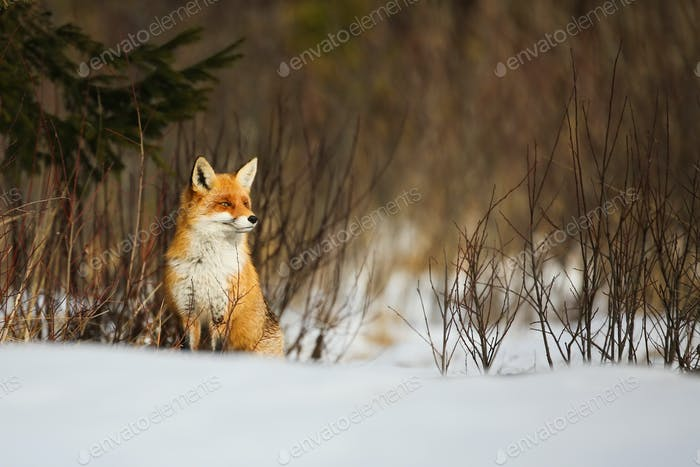 Red fox sitting on snowy meadow in wintertime nature