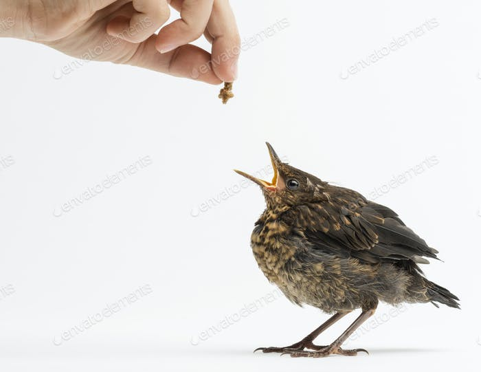Common Blackbird or Eurasian Blackbird, being fed, Turdus merula, 15 days old, isolated on white