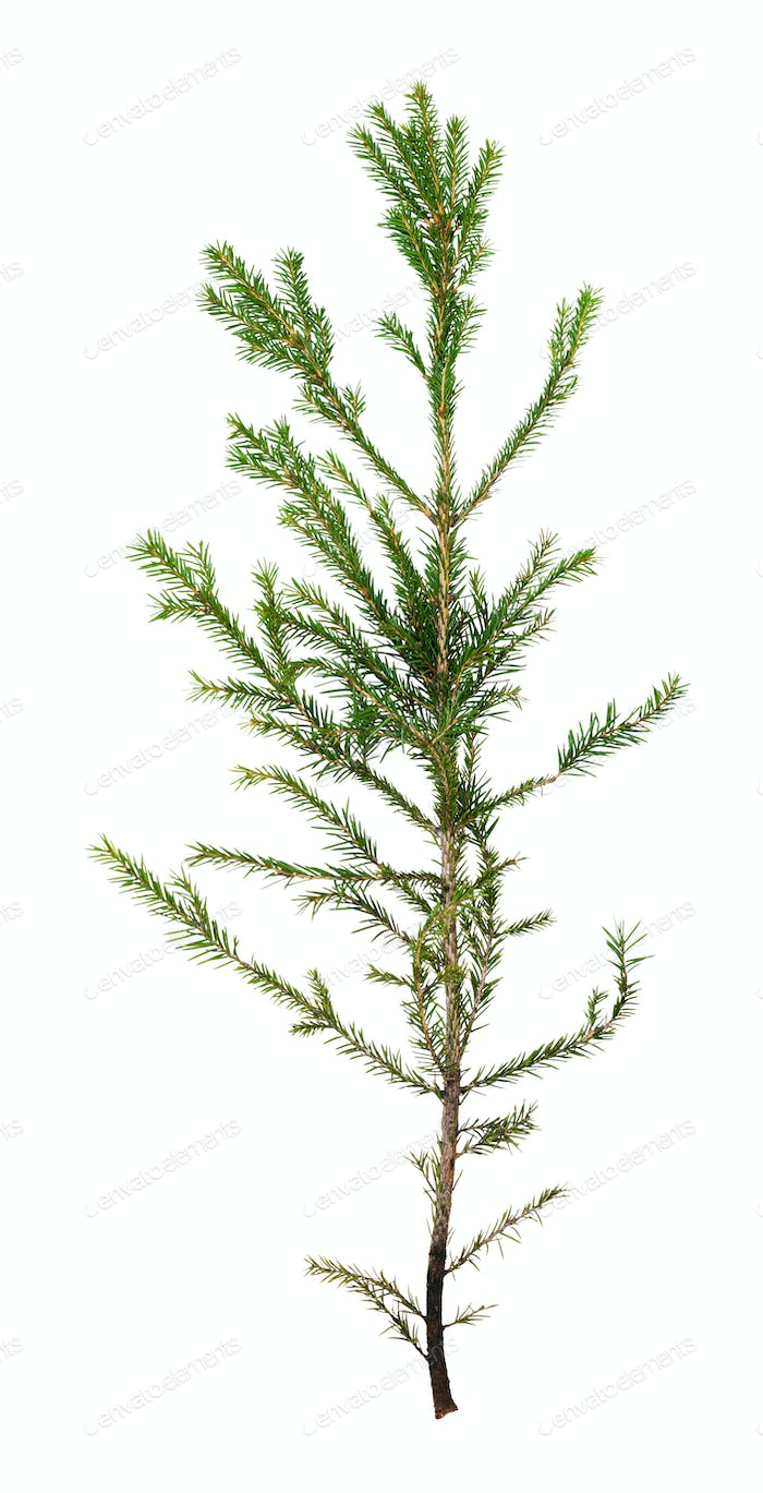 single branch of spruce tree isolated on white