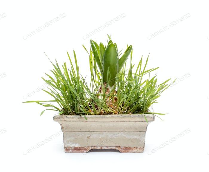 Hyazinthe Blumenzwiebeln