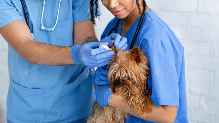 Unrecognizable vet doctors using ear drops to treat little dog's ear disease in clinic, closeup