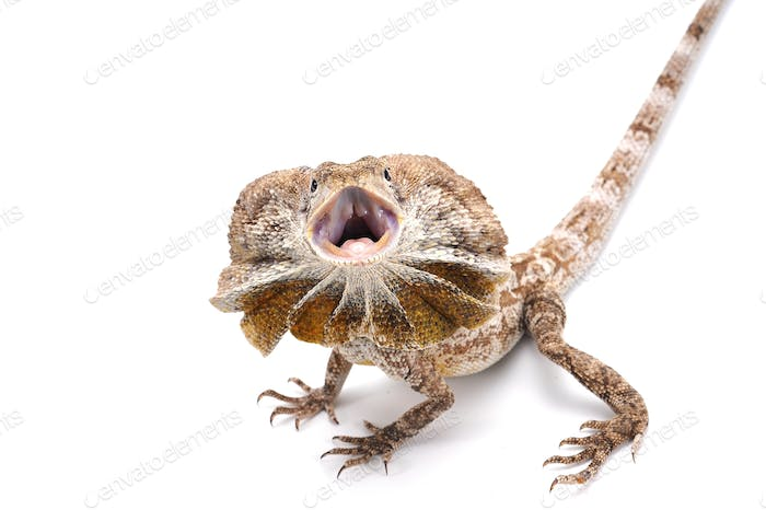 Frilled-neck lizard isolated on white background
