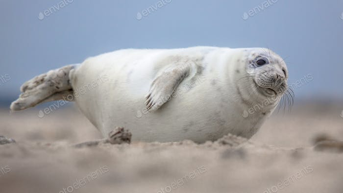Cute puppy harbor seal