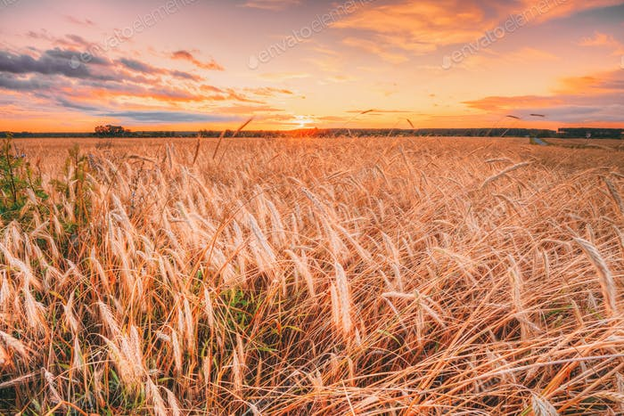 Wheat Field At Sunset Sunrise Background. Colorful Dramatic Sky