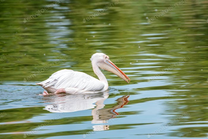 Great white pelican or Pelecanus onocrotalus in water