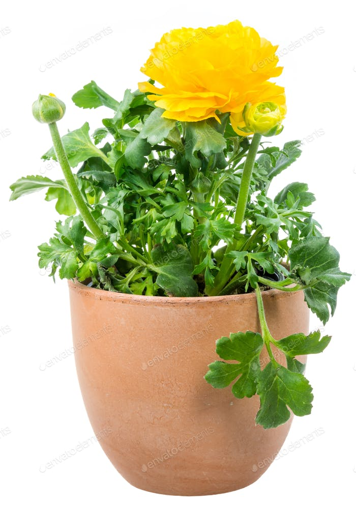 Isolated potted yellow Ranunculus flower
