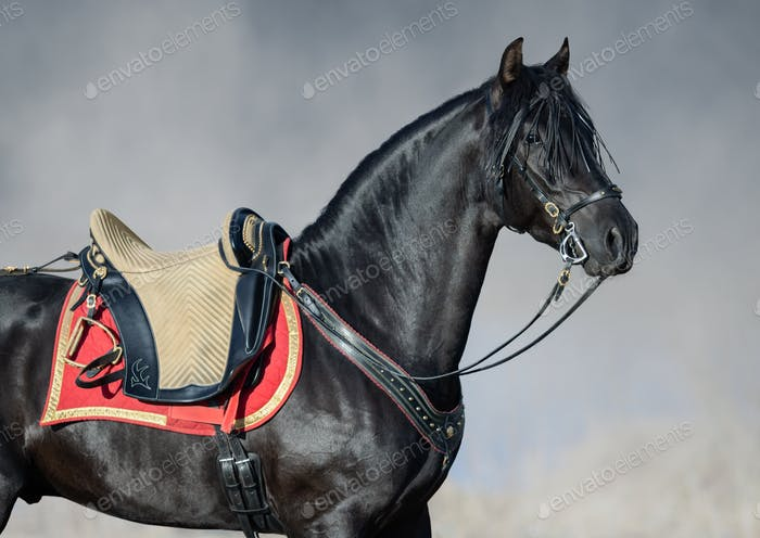 Portrait closeup of black Spanish horse with portudal saddle.
