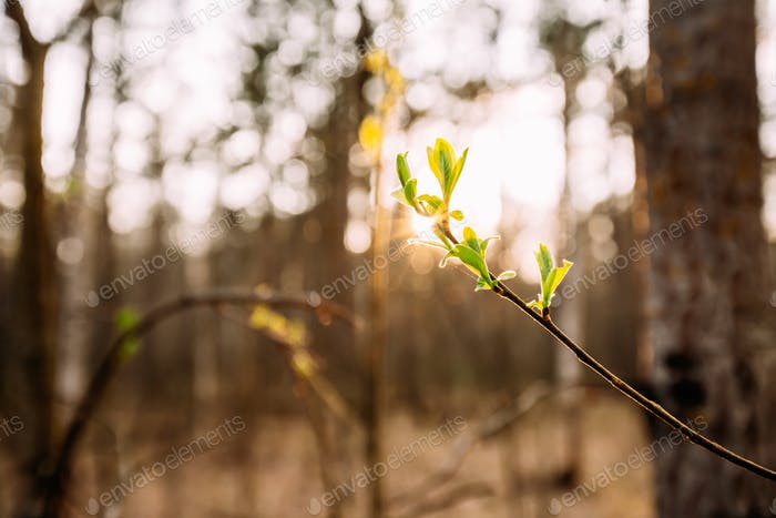 Sunlight Sun Rays Shine Through Young Spring Green Leaf Leaves G