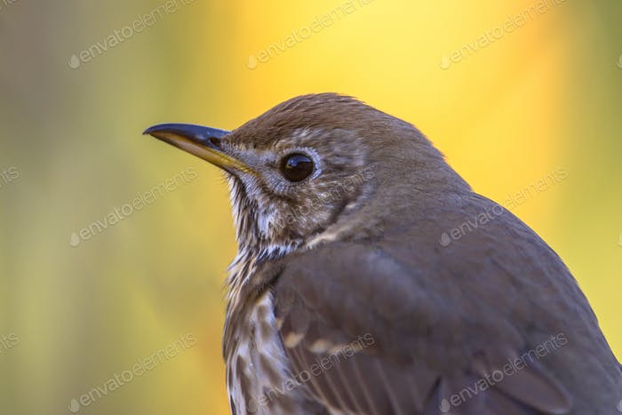 Portrait of Song thrush