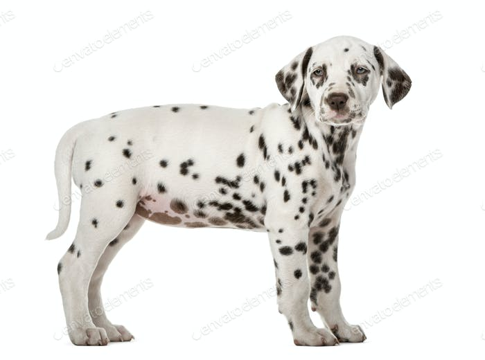 Dalmatian puppy standing in front of a white background