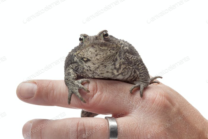 Common toad sitting on a finger