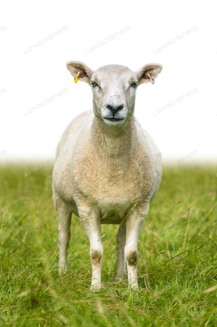Moutons isolés dans l'herbe