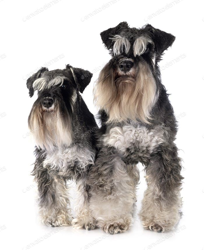 miniature schnauzers in studio