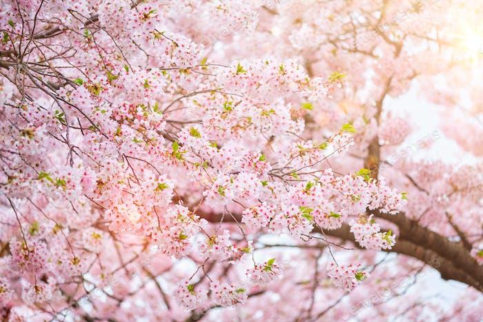 Blüte Sakura Kirschblüte