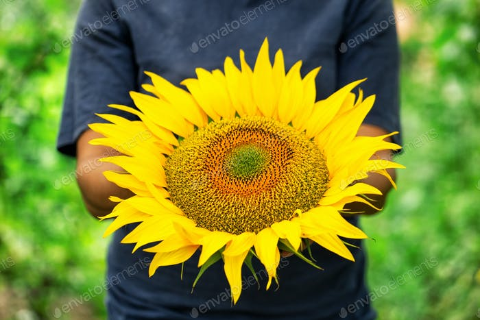 Ripe sunflower in the hands of a woman farmer