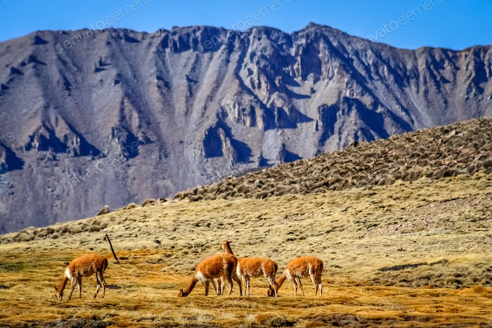 Vicunas grazing in Chile