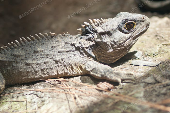 The Tuatara still lives in New Zealand