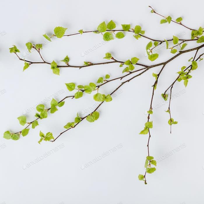 Birkenzweig mit frischen Blättern im Frühjahr