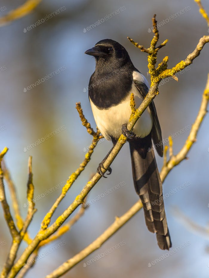 Eurasian magpie in light of setting sun