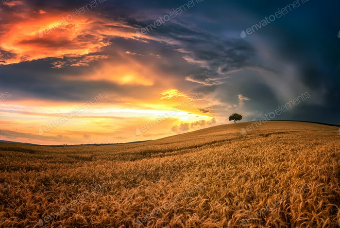 Lonely tree in sea of wheat