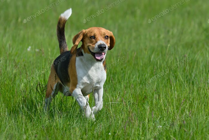Glücklicher Beagle