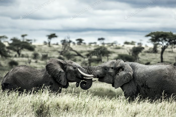 Elephants fighting in Serengeti National Park