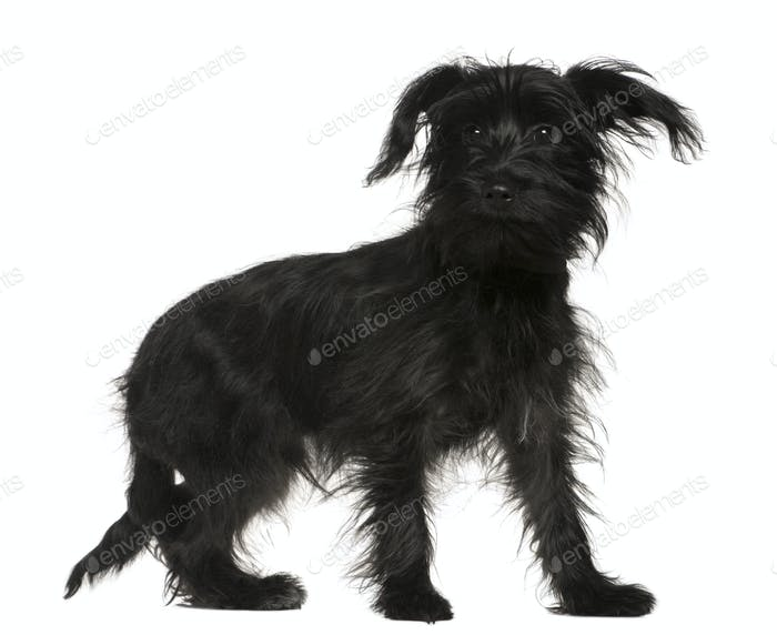Shih Tzu Mixed With A Yorkshire Terrier