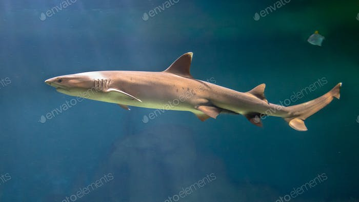 White tip reef shark  swimming