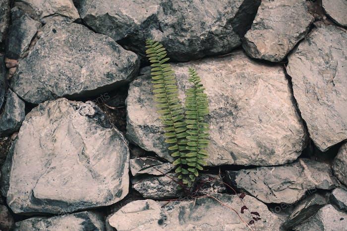 Fern on a stone