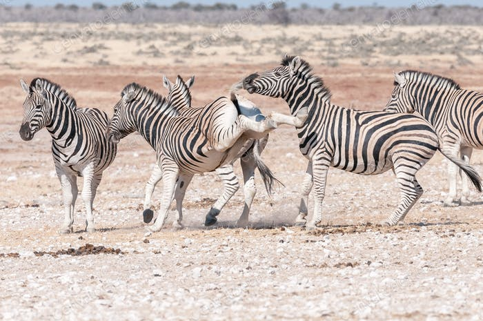 Burchells zebra stallion kicking with both hind legs during fight