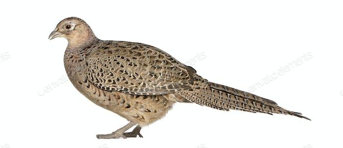 Female Golden Pheasant or 'Chinese Pheasant', Chrysolophus pictus