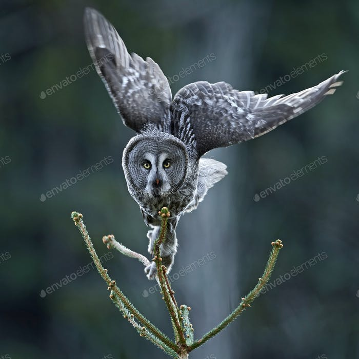 Great grey owl (Strix nebulosa)